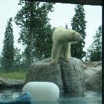 Polar Bears at the Habitat