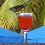 Fruit Punch drinking Bird (Tiny!) Pool Bar South Tower Clover Pool