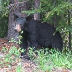 Blackbear near Morraine Lake