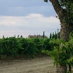The vineyards at Il Greppo