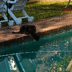 Pool gets a visit from the Melrose cat