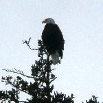 Eagles abound at Tutka Bay