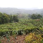 View over tea plantation
