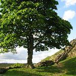 Sycamore Gap - Robin Hood's Tree