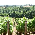 Typical Vineyard