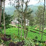 Views of the Tea Plantation