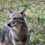 Coyote we saw in Cades Cove