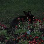 bunny in the front flower bed