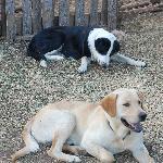Farmyard dogs