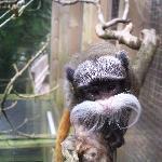 Pied tamarin monkey