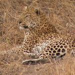 The 1 st Leopard