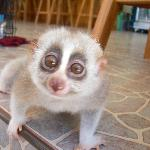Slow Lorris....what a beautiful animal.