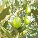 ulivi verdi e secolari