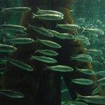The herring tank in Aquarium Kiel