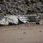 Crocodile near the dock to La Paloma - don't fall in