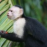 White-faced Capuchin frequenting the grounds