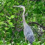 Great blue heron photo taken July 24, 2008 during the tour.