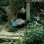 Female panda eating lunch