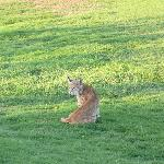 the bobcat on the golfcourse