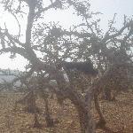 "tree of ""argane""'s fruit"
