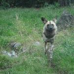 African Hunting Dog in Dublin Zoo