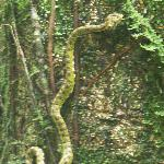 Green pit viper - look but don't touch!