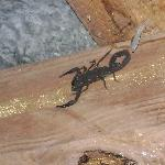 scorpions in rafters inside buildings over living/sleeping area.  very cool and very scary