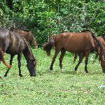 Vieques horses (They run loose on the island, but they do have owners.)