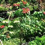 Poinsettias at cottage.