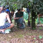 learning how macadamia is harvested