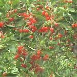 Árbol de cerezas atractivas...en mi país no tenemos
