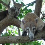 some curious coatis