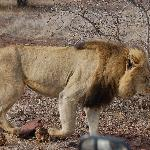 One of the Lions, note the wing mirror in th bottom of the picture