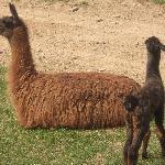 Mama and 9 day old llama