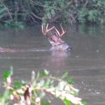 Deer swimming in river-taken from treehouse deck