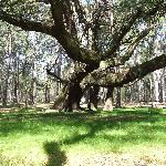 A 300-year-old live oak tree at Palmyra