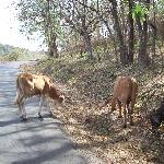 watch for cows in the road