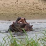 Hippos playing