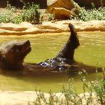 ayamonte zoo bear taking a bath!