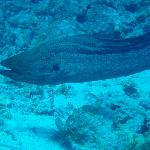 moray eel free-swimmimg
