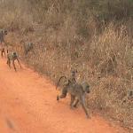 Monkey ride in Tsavo East & West
