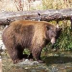 A brown bear fishing for salmon.