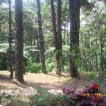 CJH Pine Trees
