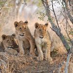 Kapama cubs