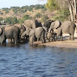 elephants - Chobe
