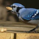 Blue Jays eat just feet from you