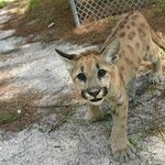 This little guy is a florida panther.
