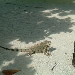 Iguana near restaurant