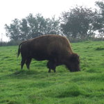 American Bison in America Area