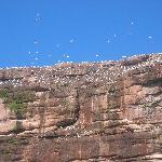 l'Ile deBonaventure - les fous de bassan